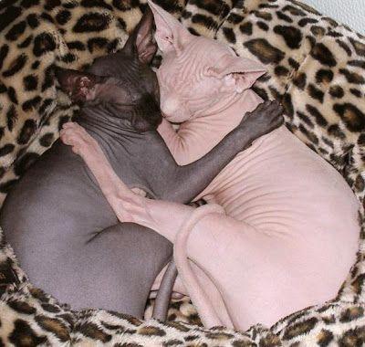 Don Hairless Cats Http Represent Com Kittenshirt Sphynx Cat Cat Cuddle Cat Facts