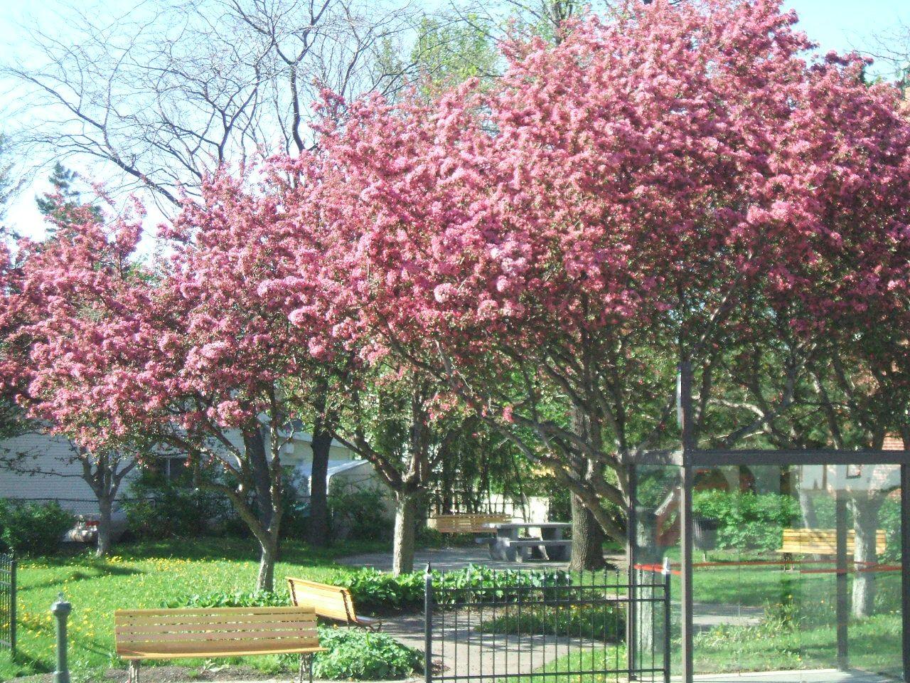 les pommiers en fleurs au printemps