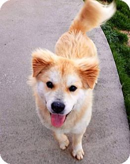 Pin By Suemillion On Rescues Golden Retriever Mix Chow Chow Mix