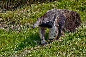 Animais Em Extinção No Brasil Tamanduá Bandeira Encontrado