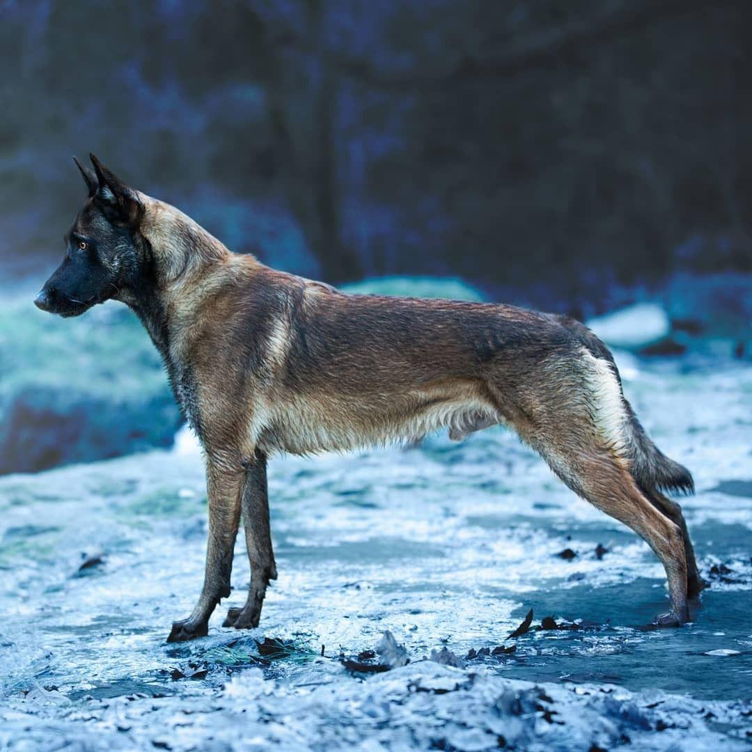 Pin by Røyal.Bluez̈ on Doggos Belgian malinois dog