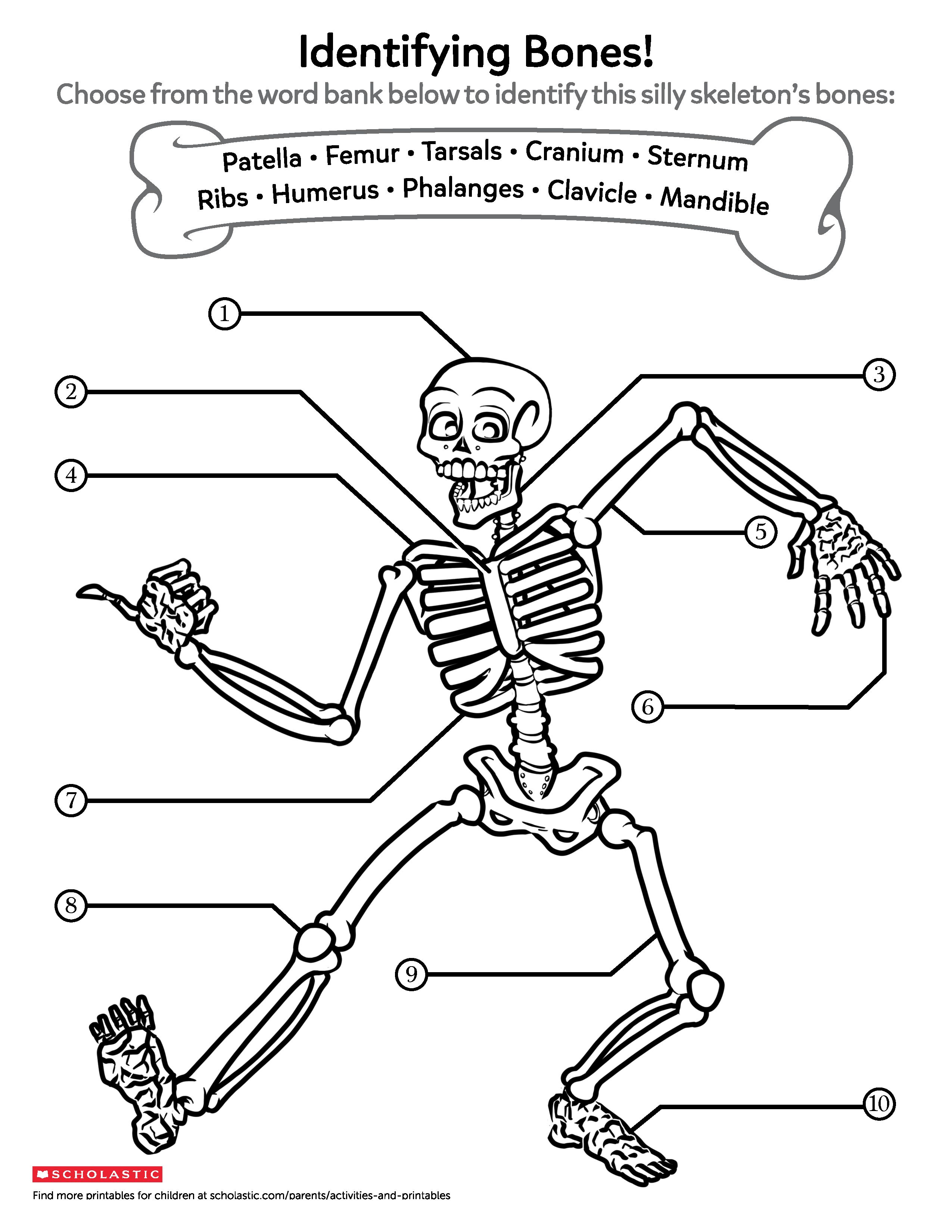 Your Child Can Learn About The Different Bones Found In