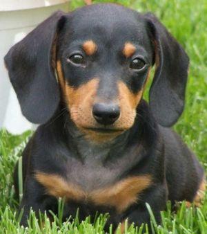puppy daushound
