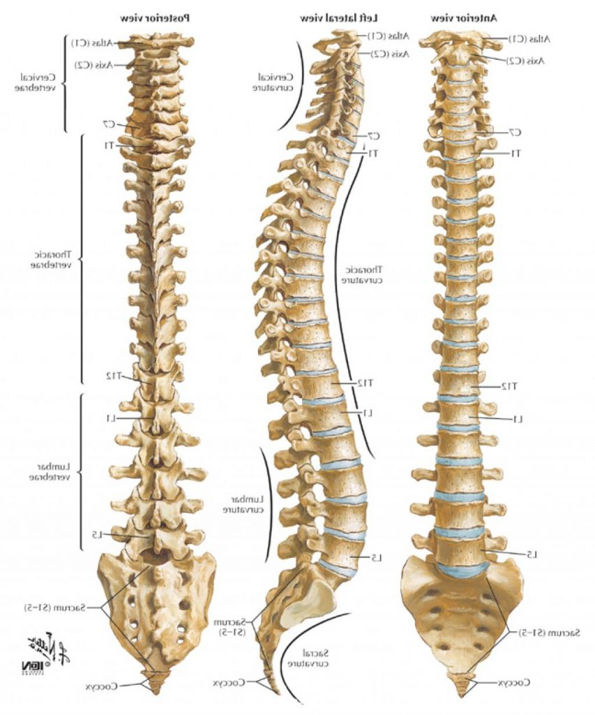 small resolution of spinal cord picture anatomy spinal cord picture anatomy human spinal cord anatomy importantly web photo