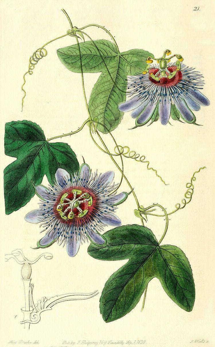 Passion vine illustration - circa 1838 | passiflora ...  Passion vine il...