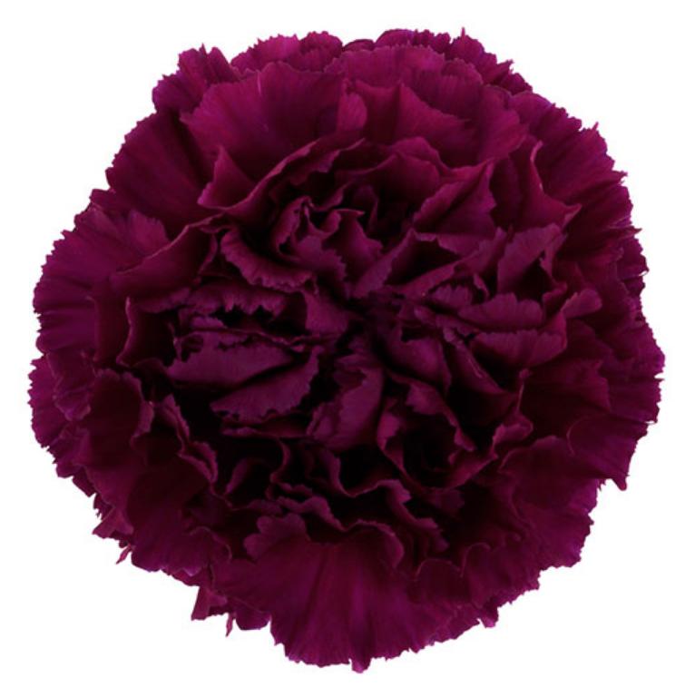 Carnation Golem Purple Fancy In 2021 Diy Wedding Flowers Carnations Expensive Flowers