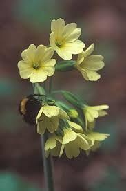 Pierwsze Wiosenne Kwiaty Chronione Szukaj W Google Plants