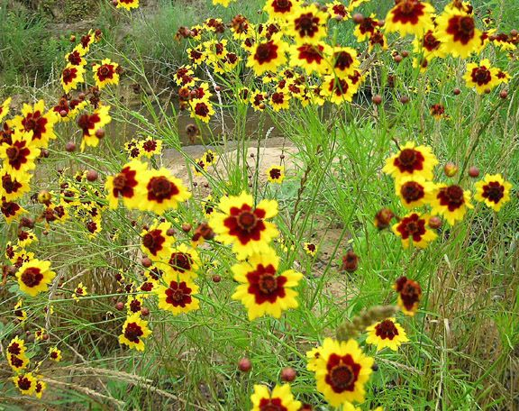 COREOPSIS DWARF RADIATA SEEDS HARDY FLOWERING DROUGHT TOLERANT