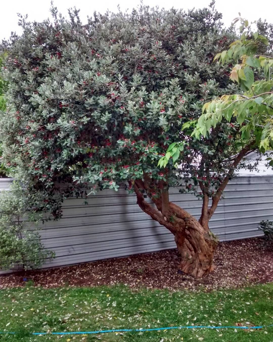 Umakant On Instagram Feijoa Tree Full Of Flowers Before Fruits Nz Christchurch Backyard Paradise Landscape Trees Garden Design