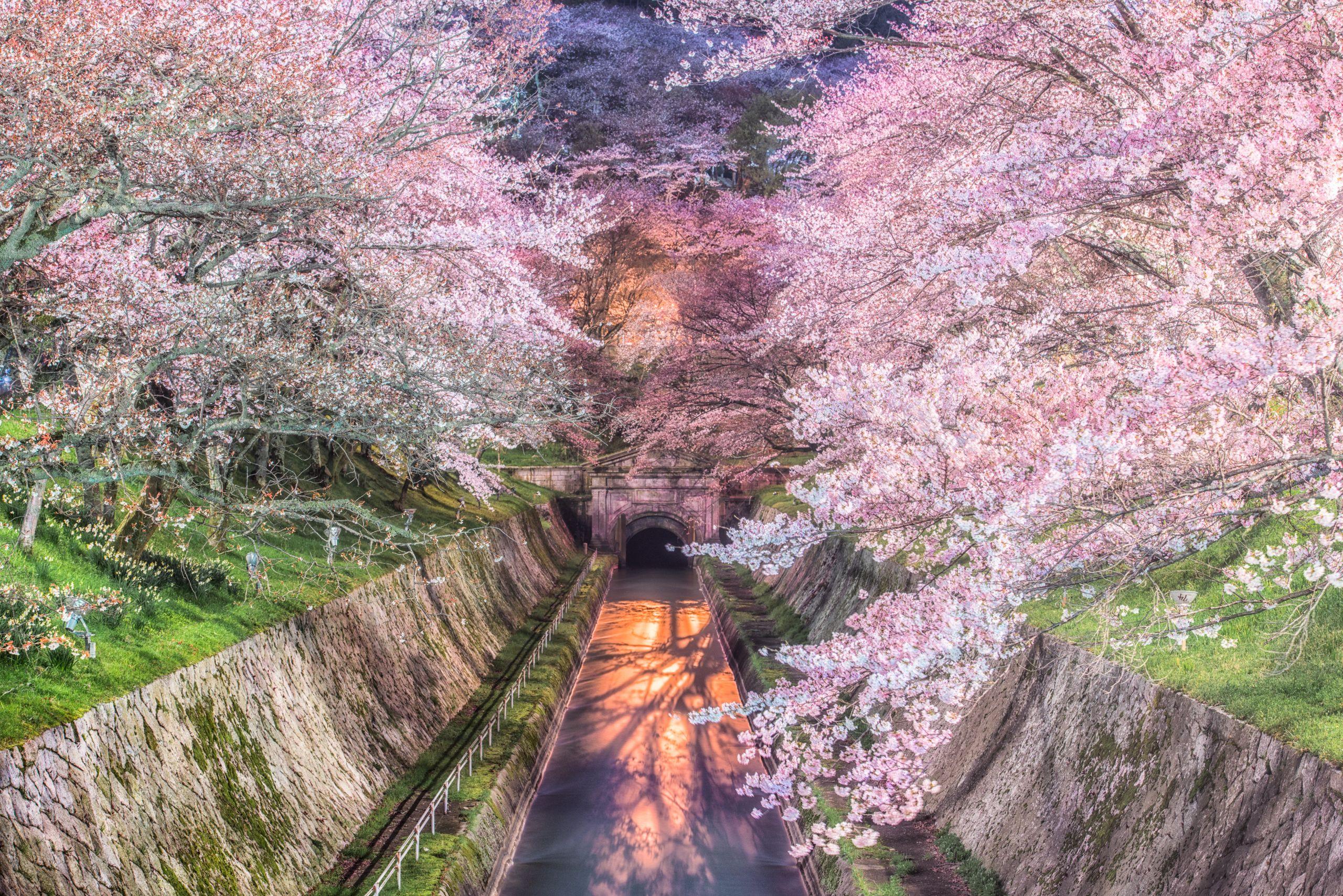 プロフォトグラファーが教える 夜桜 名所 近畿地方編 pashadelic 落葉 名所 桜の花