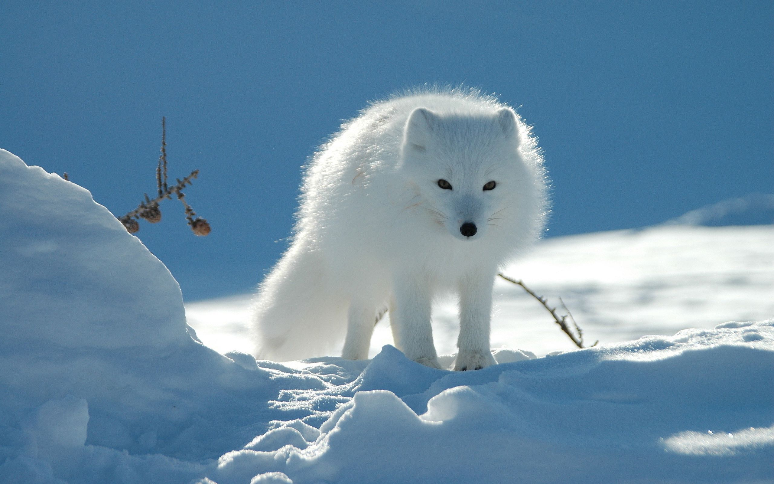 A red fox (Vulpes vulpes) standing in the snow