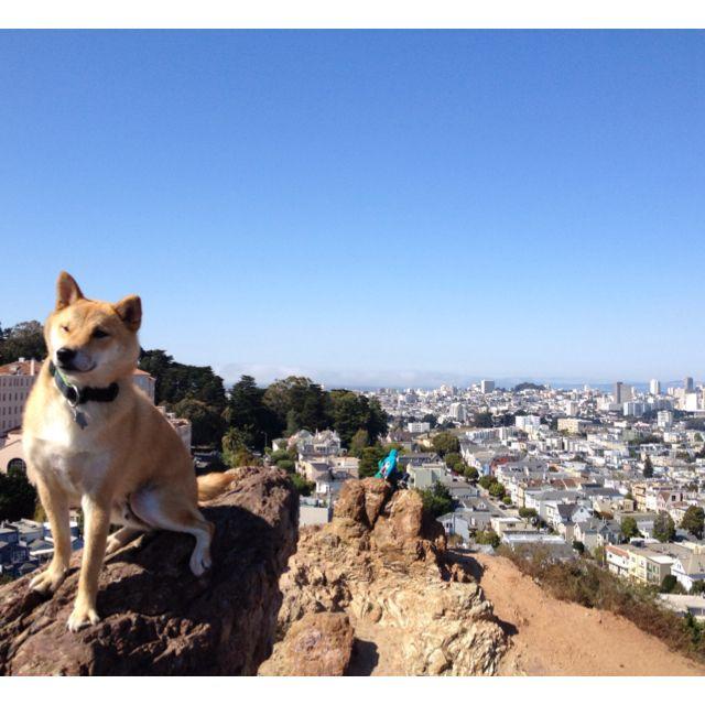 Oscar atop San Francisco #shibainu