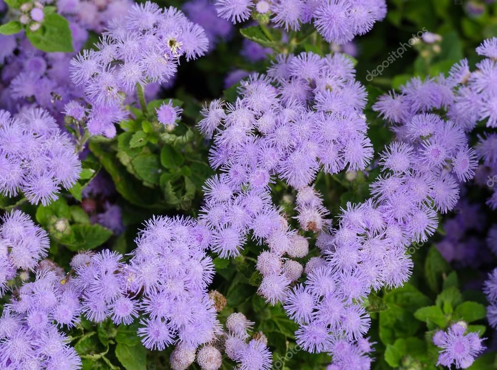 Descargue La Foto De Stock Floss Flower Awesome Leilani Blue Or Ageratum Blue Bouque In Green Background Alch Mosquito Repelling Plants Plants Mosquito Plants
