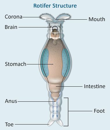 rotifer diagram labeled 70 volt speaker wiring the perfect classification and characteristics of rotifers diagramatically speaking