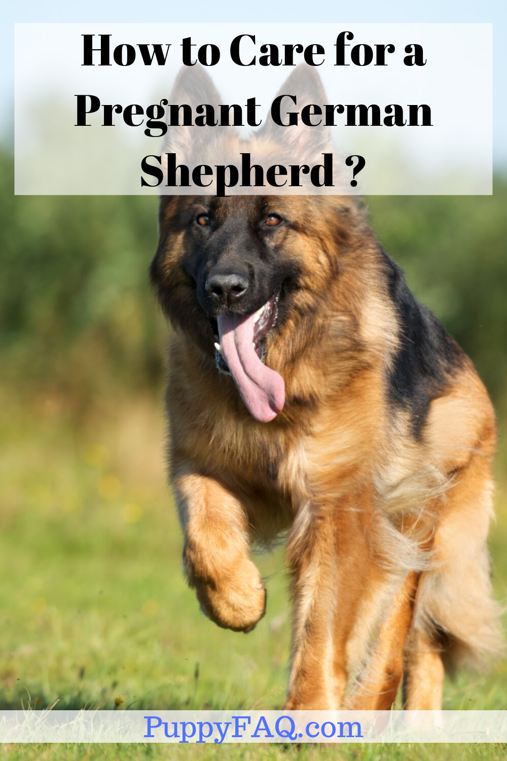 How To Care For A Pregnant German Shepherd A Complete Guide Black German Shepherd Puppies White German Shepherd Shepherd Puppies