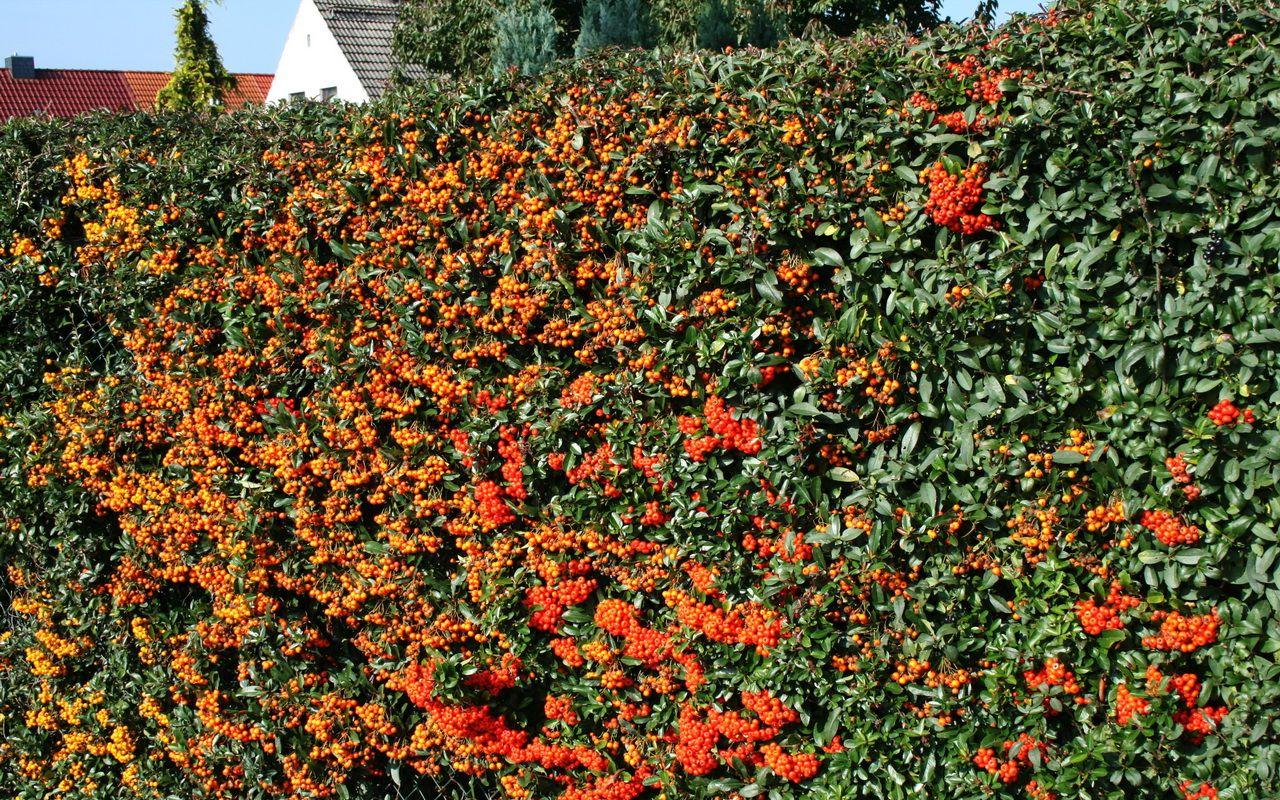 Gestalten Mit Fruchtschmuck Im Garten Stilvolles Design Einfach Gepflanzt Feuerdorn Garten Pflanzen Garten