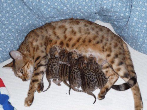 Mama And Kittens Bengal Kitten Bengal Cat Cats