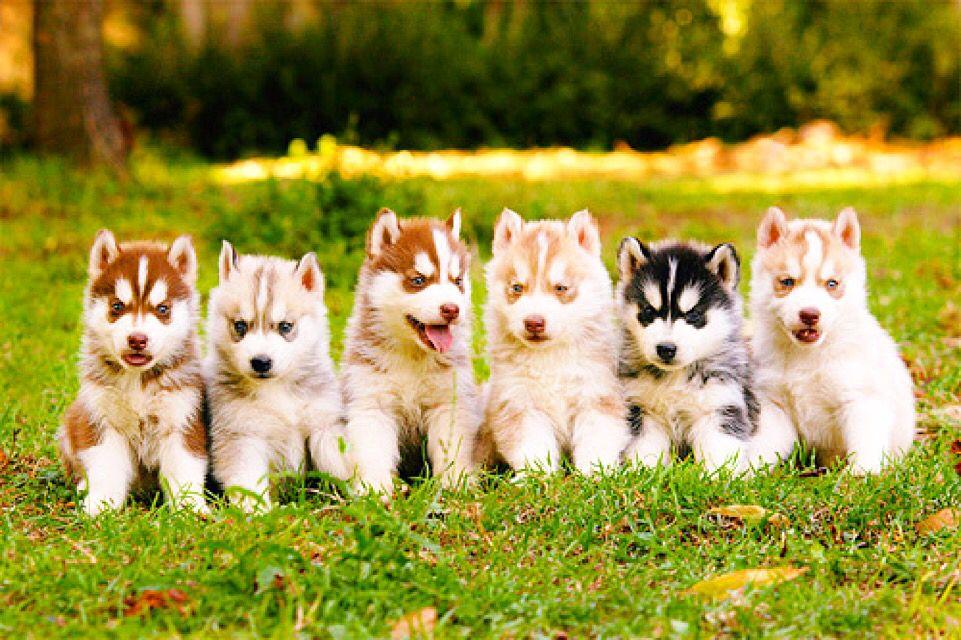 Shepherd Unknown Type Rottweiler Mix Puppy For Adoption In Detroit Michigan Ira Rottweiler Mix Puppies Rottweiler Mix Puppy Adoption