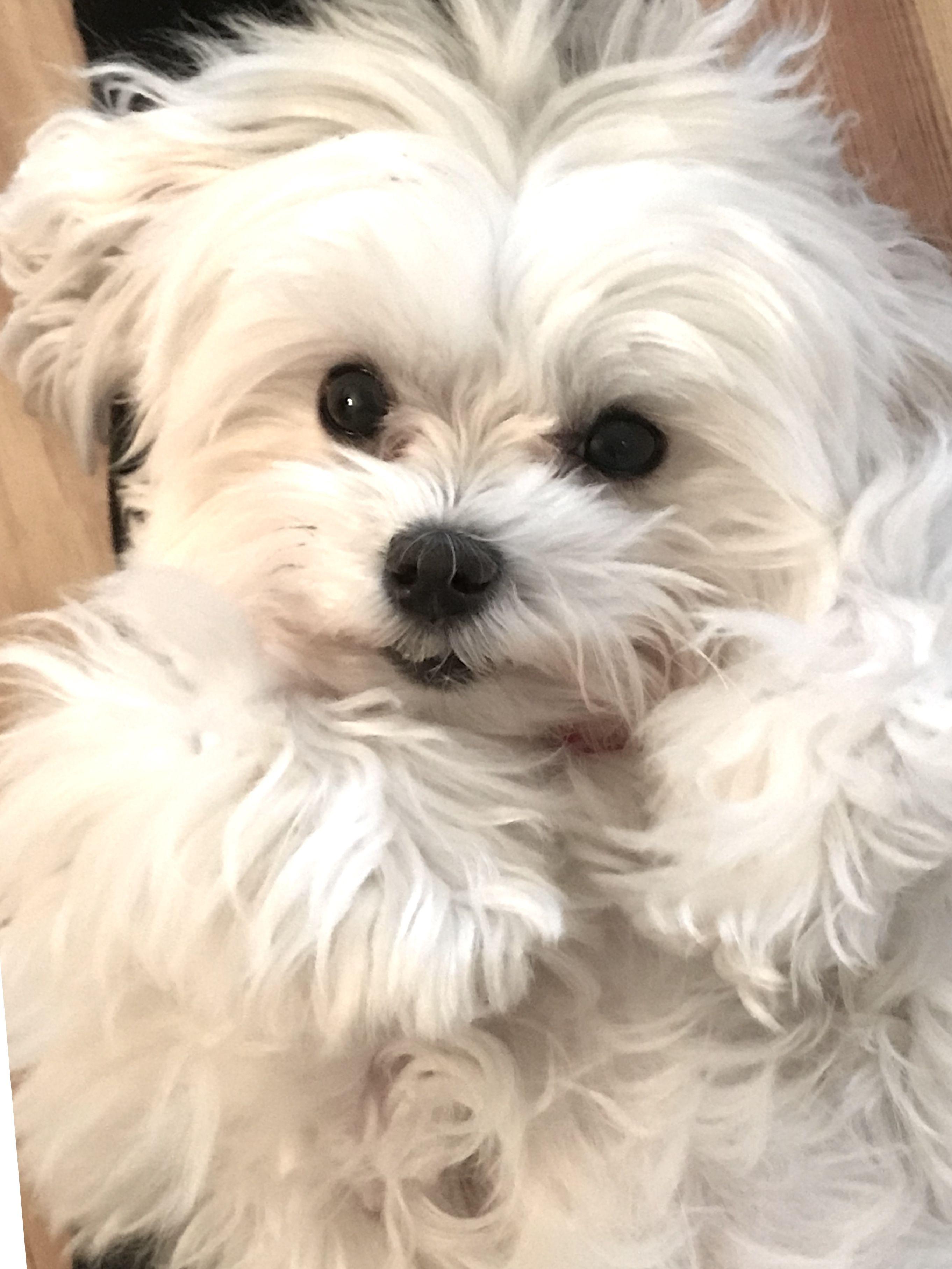 Ever Feel Like A Cotton Ball Maltese Dogs Maltese Puppy Cute