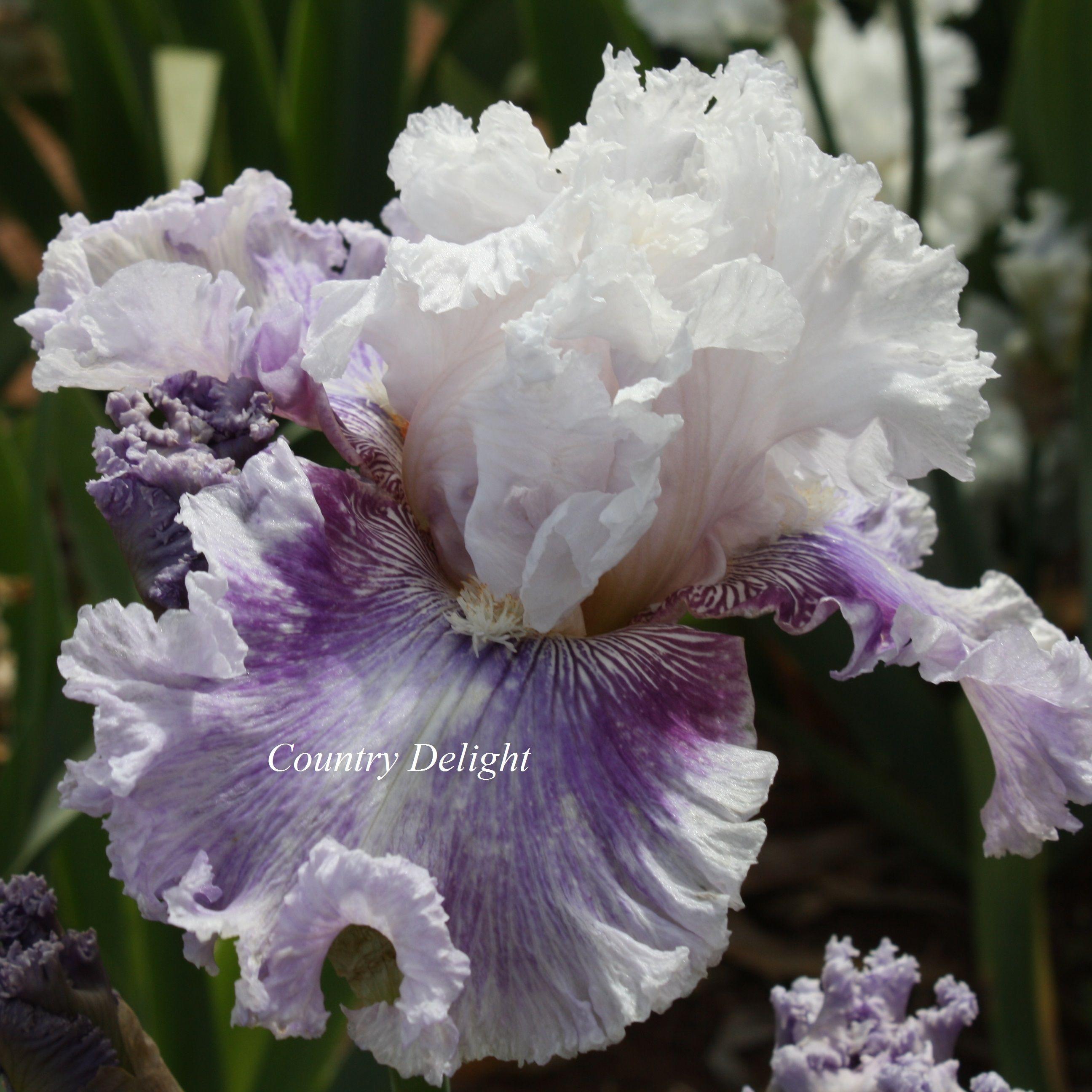 Frill of it all irises pinterest iris iris flowers and flowers tall bearded iris frill of it all dhlflorist Image collections