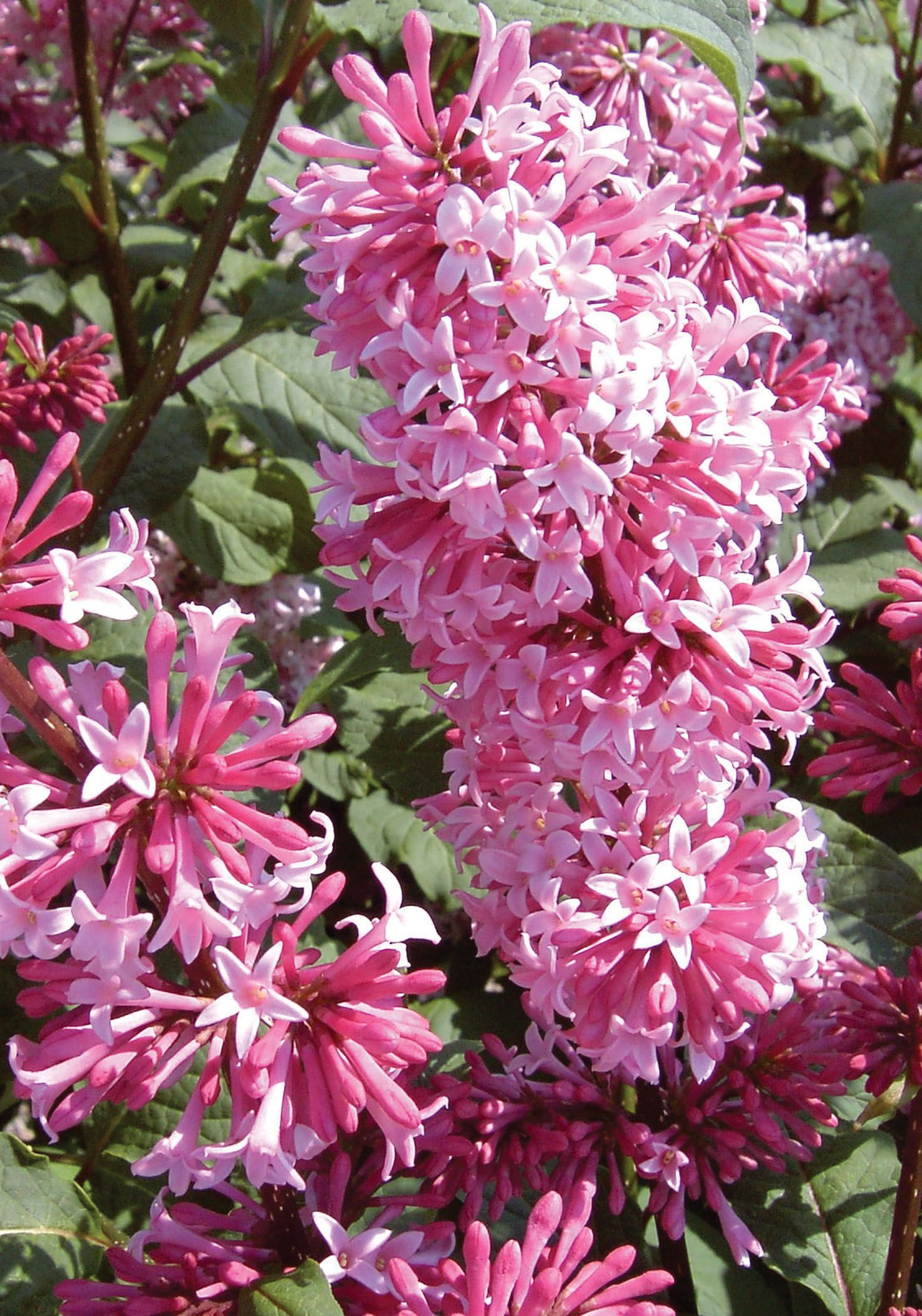 Miss Canada Lilac Has Large Clusters Of Tubular Deep Pink Flowers In Early Spring Flowering Trees Early Spring Flowers First Flowers Of Spring