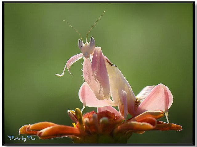 Orchid Mantis CatTien national park ex by adegsm, via