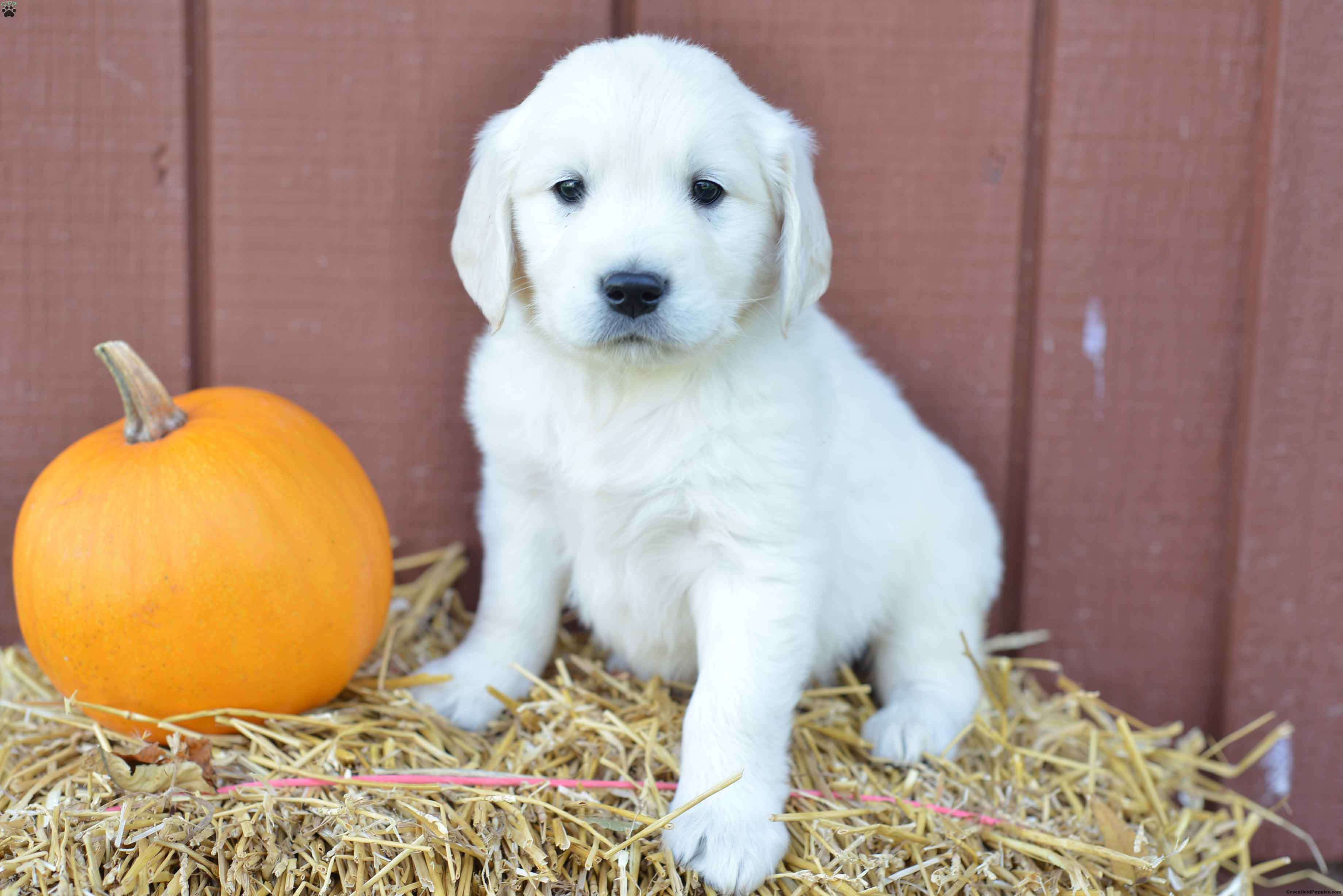 Frank English Cream Golden Retriever Puppy For Sale in