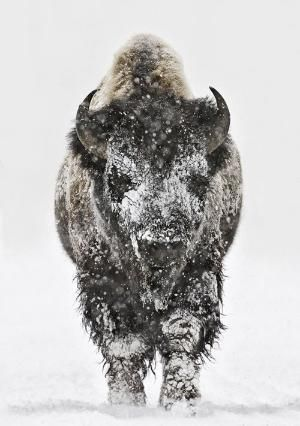 Bison head-on in snow in Yellowstone National Park, Wyoming. by bettie