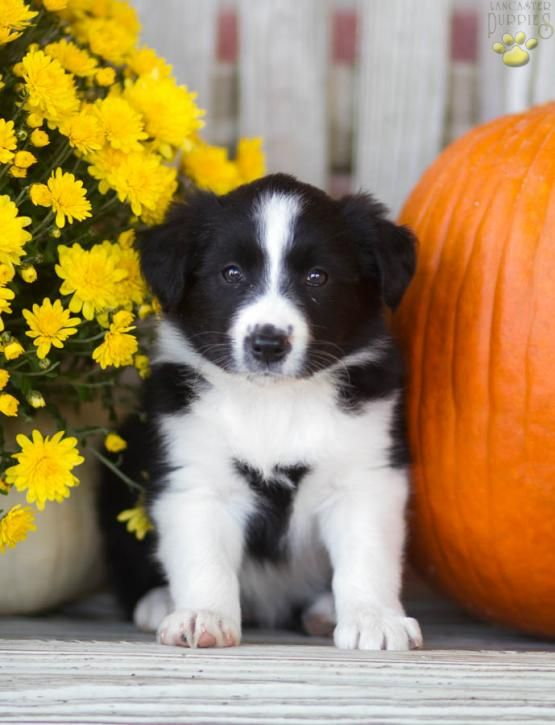 Maria Border Collie Puppy For Sale In Montgomery Pa Lancaster