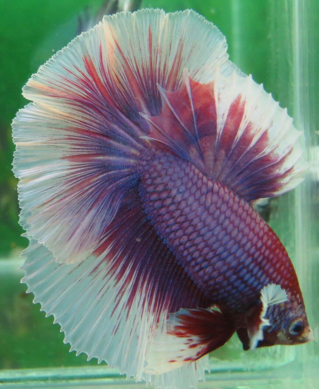AquaBid.com - +++Lavender-HM-Male+++