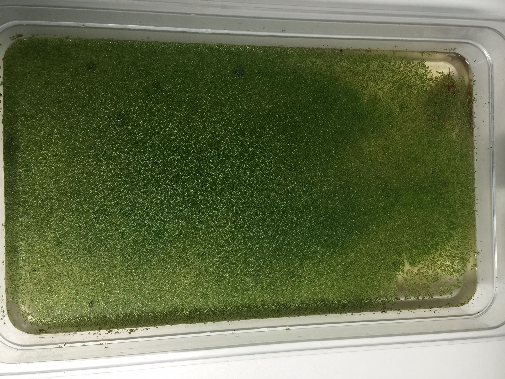 Duckweed: protein rich for animal feed, easy to grow, good to chickens, pigs, goats, ducks and cows.