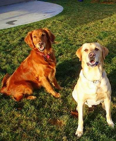 Yellow Lab Golden Retriever Golden Retriever Cute Dogs Cute Animals