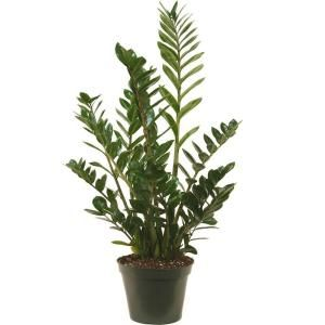 Delray Plants 10 in. ZZ Plant-10ZZ at The Home Depot | achat ... on home depot gifts, home depot balloons, home depot food, home depot shrubs, home depot birthday, home depot wedding, home depot orchids, home depot fountains, home depot flowers, home depot herbs,