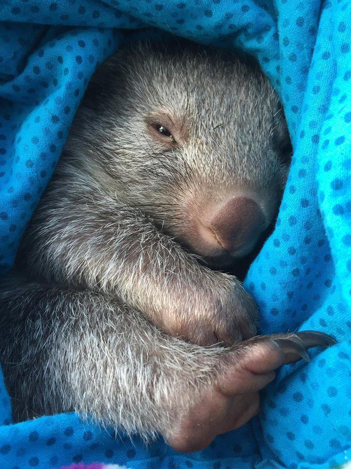 Best 25 Baby Wombat Ideas On Pinterest Wombat Wombat