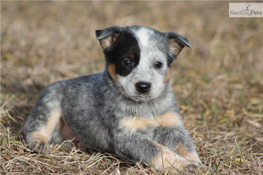 pin by mark on cattle dogs