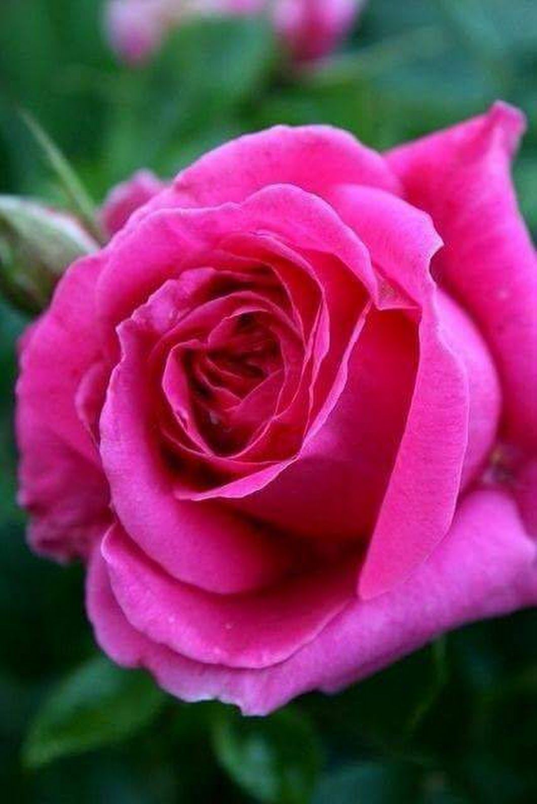 ג'קלין ולינוב Hot pink roses, Beautiful roses, Pink flowers