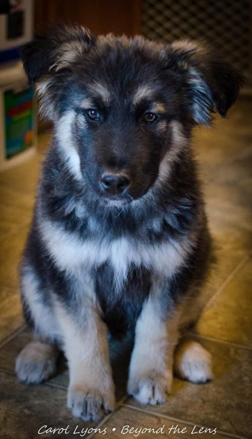 Jimmy Border Collie Mix German Shepherd Dog Baby Male