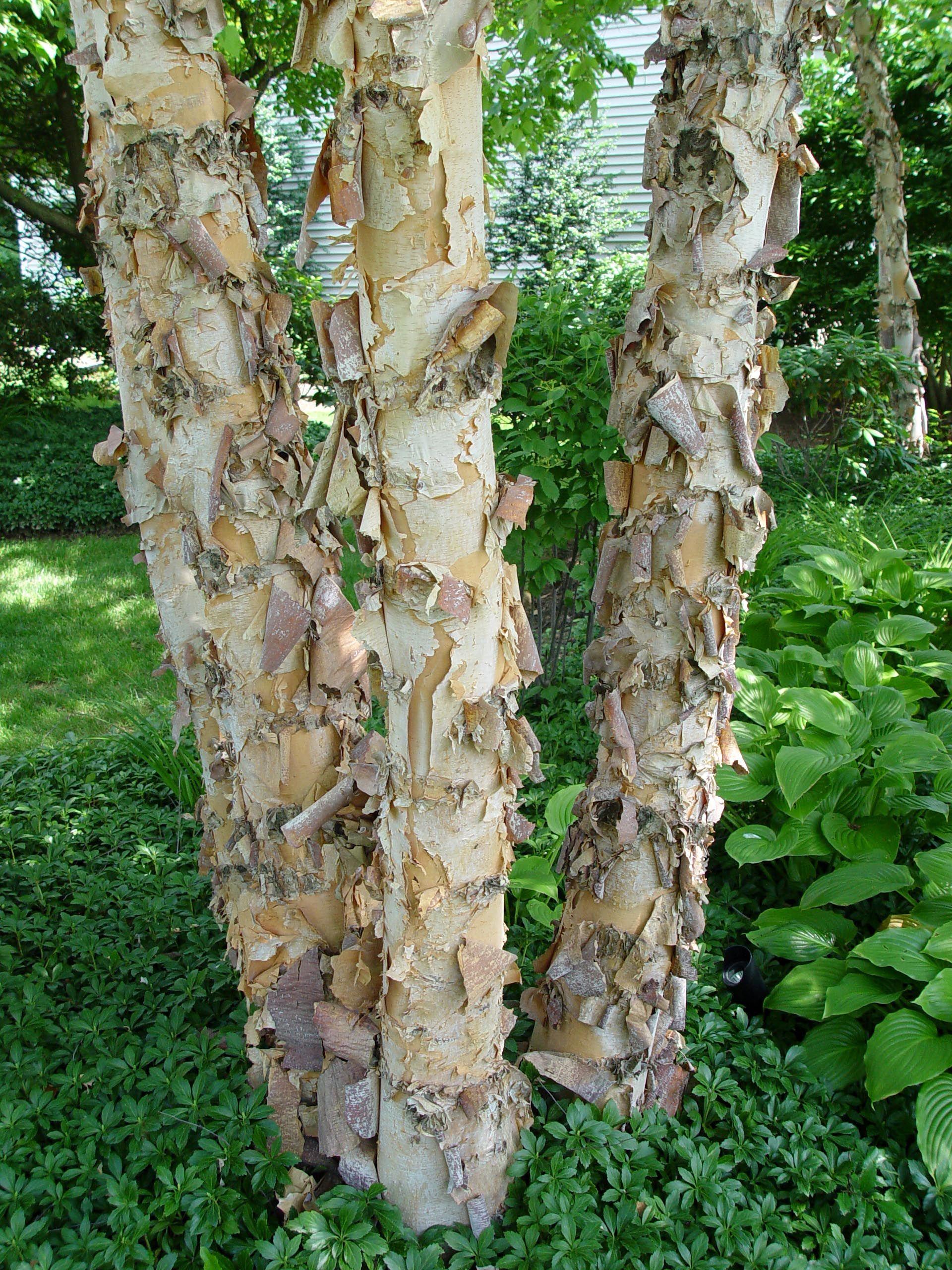 The peeling cinnamon-colored bark of river birch. | garden ...