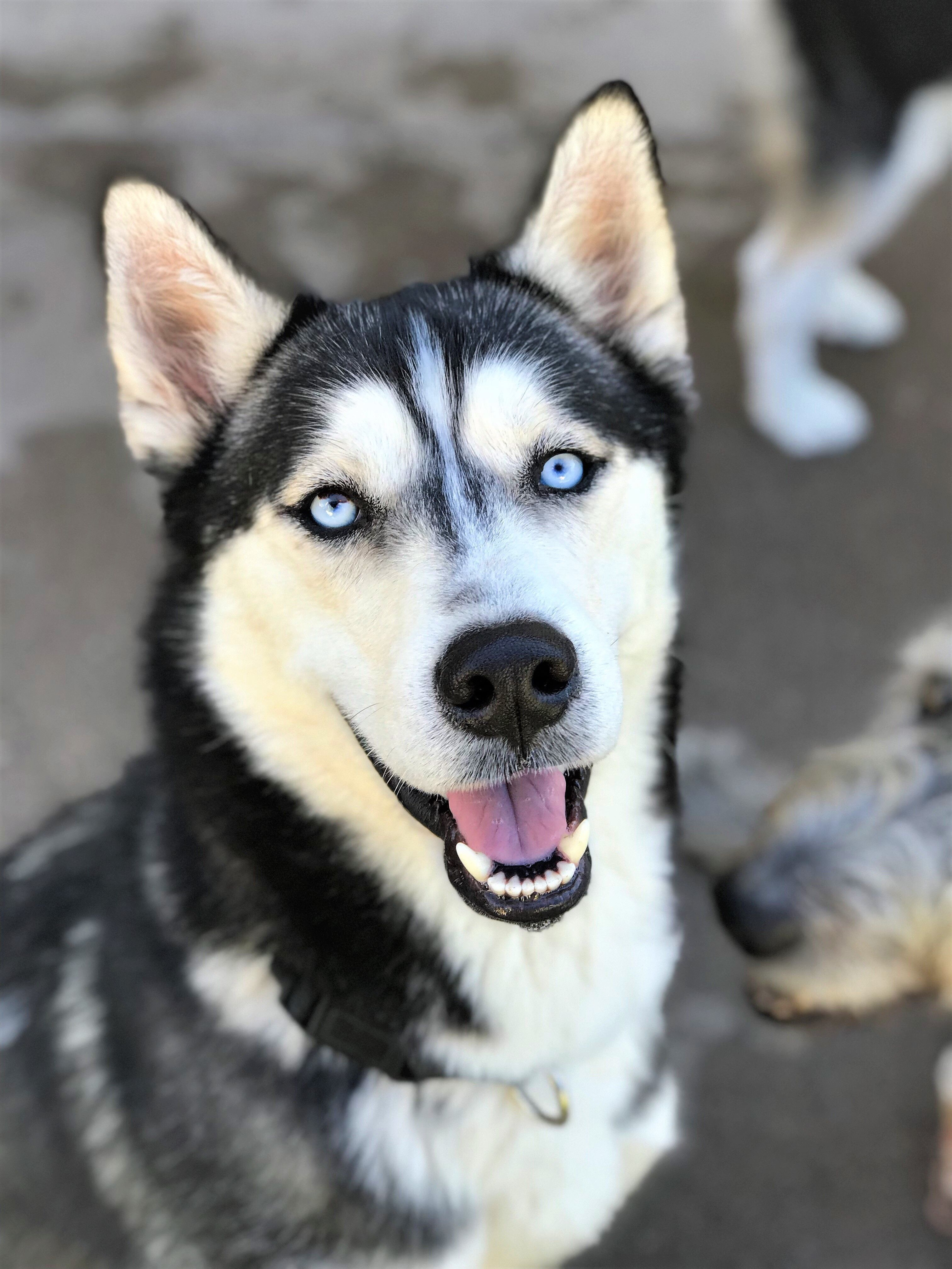Siberian Husky Dog For Adoption In Tempe Az Adn 710141 On