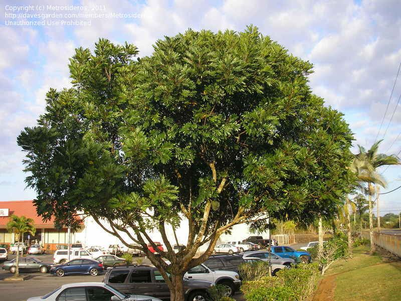 Japanese Fern Tree Filicium Decipiens Dense Rounded Canopy Makes Excellent Shade Tree For Zones 10 11 Not A Fern Not From Shade Trees Japanese Fern Plants