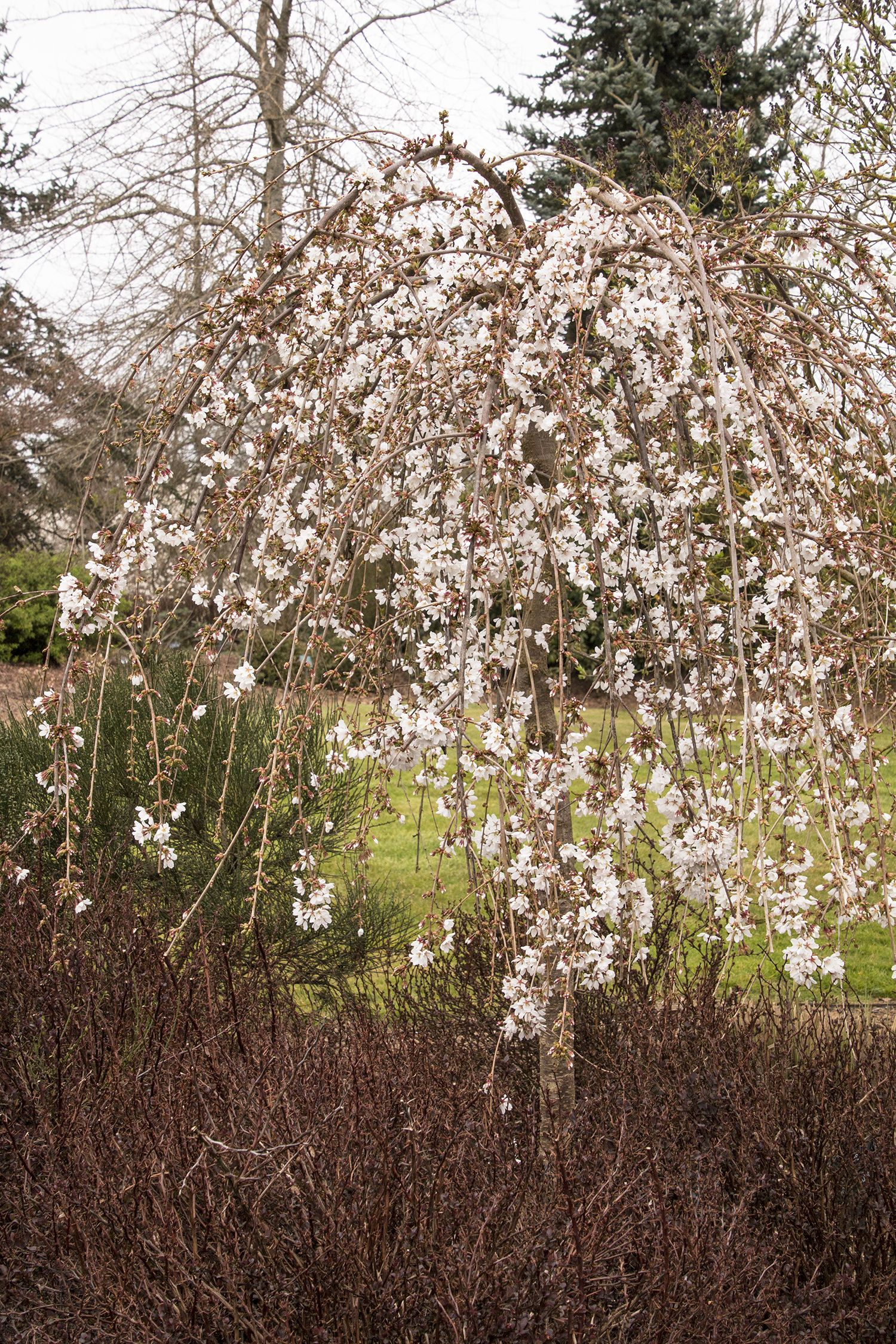 Naturally Weeping Branches On The Snow Fountains Weeping Cherry Are Covered With Showy Snow White Spring Flowers Small Trees Ornamental Trees Monrovia Plants