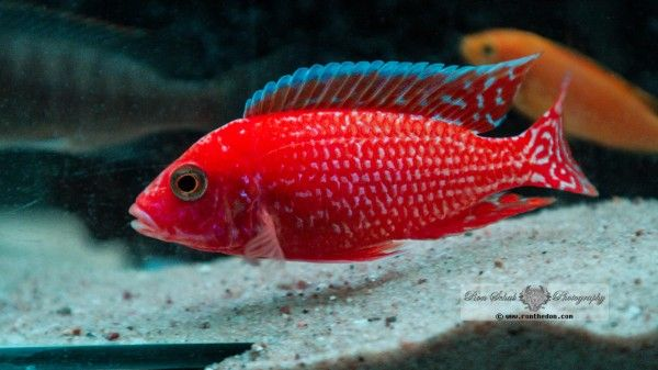 Aulonocara Fire Coral Red Seifert African Bavarian Cichlids Breeding As A Hobby Cichlids Aquarium Fish Tropical Freshwater Fish