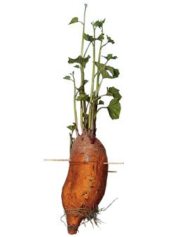 {No Small Potatoes}  This looks pretty cool.  Plus did you know the sweet potato is a member of the morning glory family; just like that flower?  You can train the vines to grow wherever you want.  Cool.