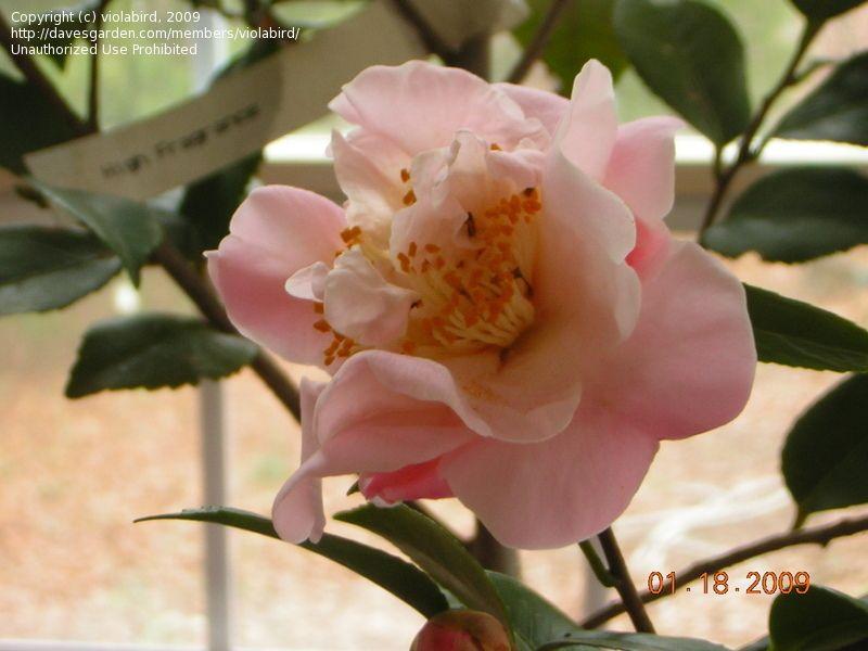 It Smells Divine Hybrid Camellia High Fragrance Camellia Fragrance Plants Flowers