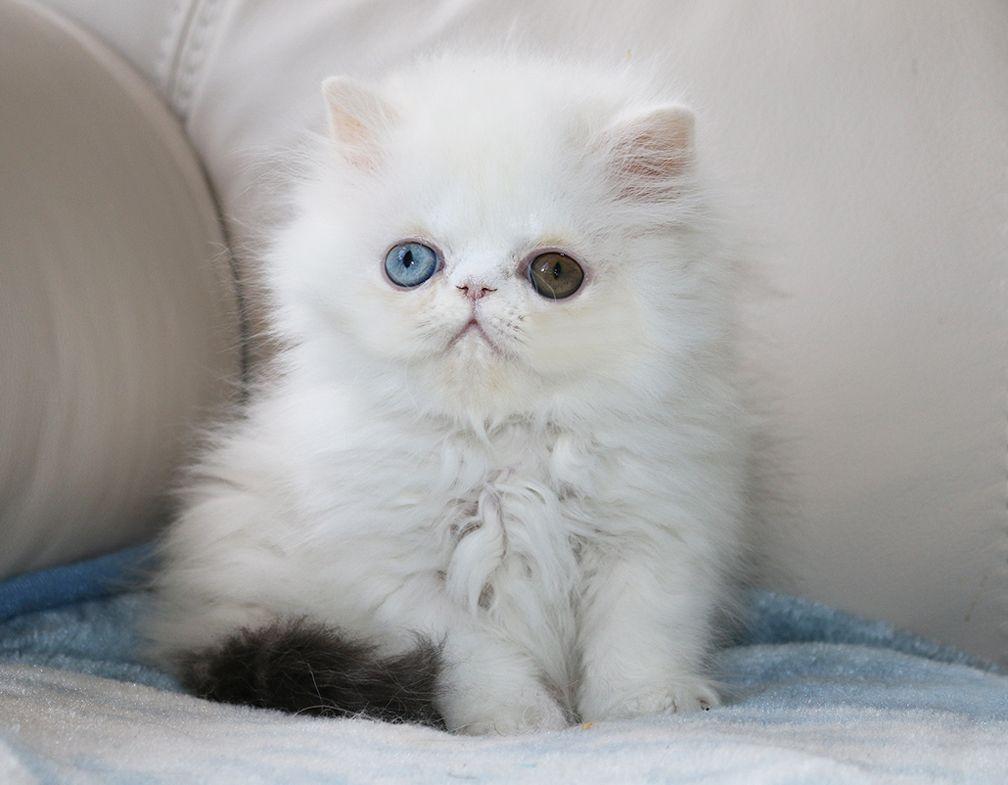 Alfenloch Persian Kittens Ontario Canada Persian Kittens