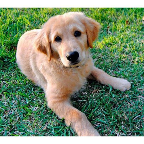 Cute Puppies Of The Day Golden Retriever Cute Puppies Dogs
