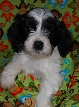 Wounderful Loving Cockapoo Puppies Cockapoo Puppies Cute Animals Cute Puppies