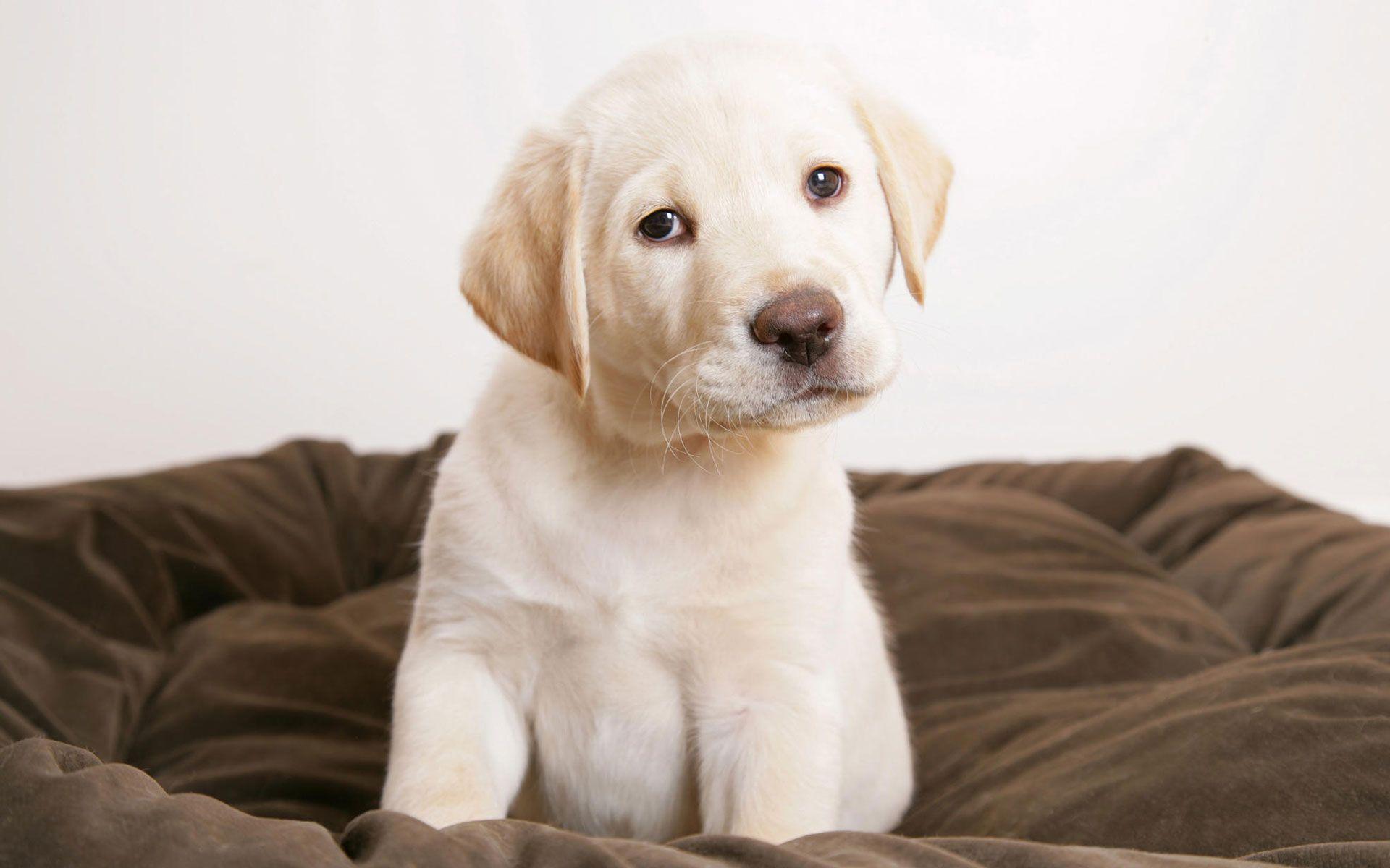 Cute Puppy Wallpaper Cute Puppy Wallpaper Puppy Wallpaper Labrador Retriever Puppies