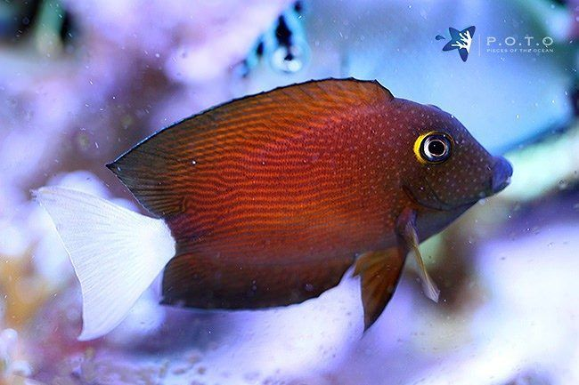 The White Tail Bristletooth Tang Ctenochaetus Flavicauda Is Not Only Pretty They Also Clean The Rocks Of Algae Head Underwater Life Tang Fish Reef Aquarium