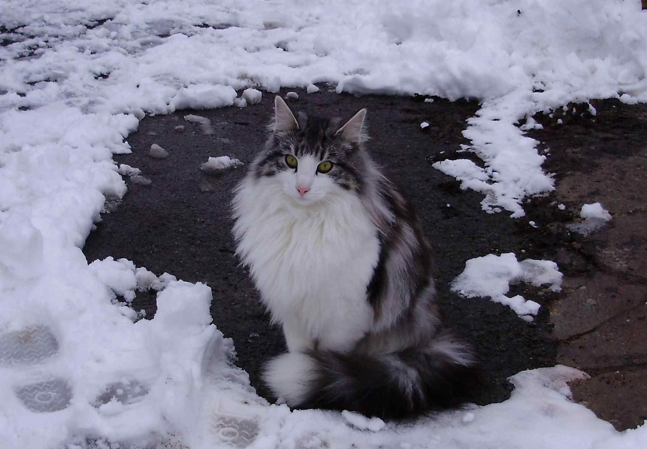 Black And White Norwegian Forest Cat Sitting On Snow Norwegian